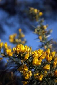 florais gorse